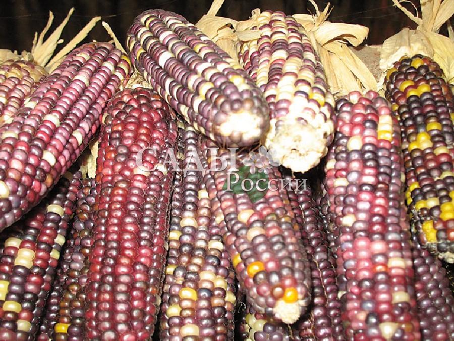 Кукуруза Виолетта F1Кукуруза<br>НОВИНКА!  <br><br> <br>Настоящий эликсир молодости.<br>