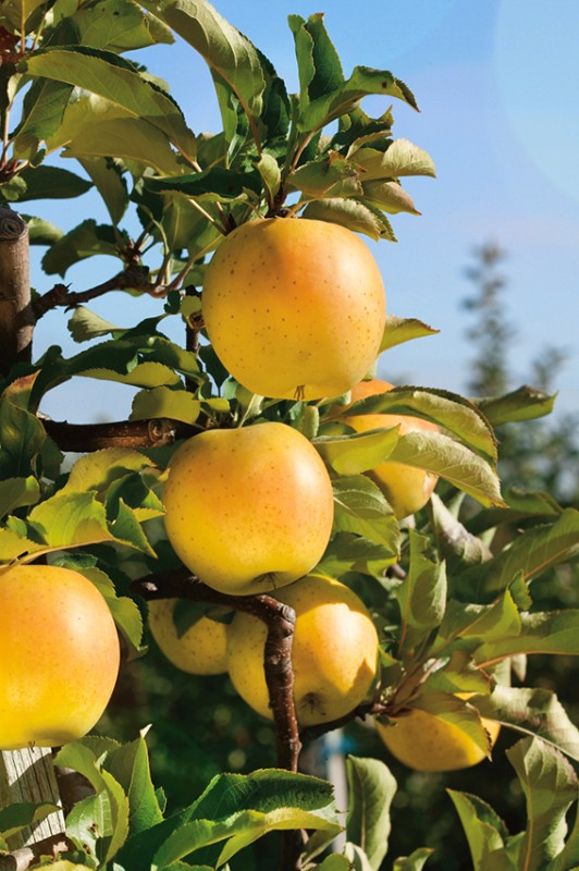 Яблоня МедокЯблони Колонновидные<br>«Эх, яблочко, да на тарелочке…». Неземное<br>наслаждение дарят плоды этого компактного<br>природного полукарлика.<br>