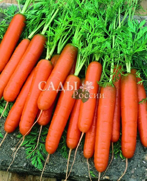 Морковь Джерада F1Морковь<br>Новый перспективный гибрид нантского типа для получения<br>ранней свежей продукции. Уборка урожая через 90 дней после<br>появления полных всходов.<br>