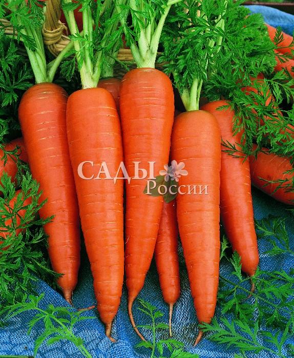 Морковь Скорпио F1Морковь<br>Эталон европейского качества. Великолепный среднеспелый<br>гибрид-новинка,<br>от всходов до уборки 100—120 дней.<br>