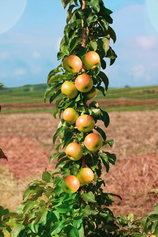 Яблоня ПрезидентЯблони Колонновидные<br>Надёжный, добротный и стабильный поздне-летний сорт с ежегодным плодоношением.<br>