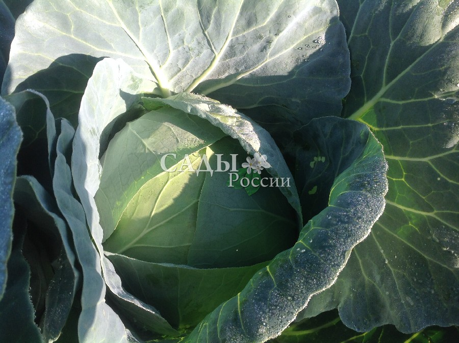 Капуста Бухарест F1 белокочаннаяКапуста белокочанная средняя<br>Очень перспективный урожайный среднеспелый гибрид универсального<br>использования. Готов к уборке через 130 дней после<br>всходов. Кочаны средней массой 2—2,9 кг, плотные, великолепного<br>вкуса.<br>