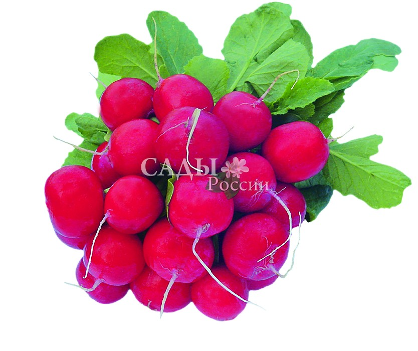 Редис Вена F1Редис<br>Ранний очаровательный гибрид-ягодка. Маленькие (23—25 г)<br>аппетитные ярко-красные корнеплоды с нежной, очень сочной<br>молочно-белой мякотью, как праздник наступающего лета.<br>
