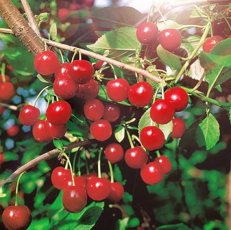 Вишня Стандарт УралаВишня<br>Прочно обосновавшийся на Урале сорт,<br>очень популярный среди садоводов-любителей.<br>