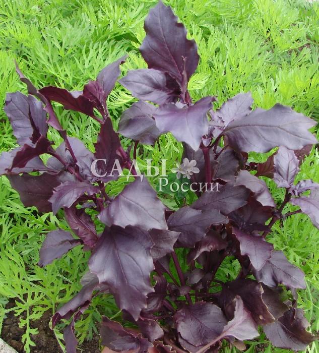 Базилик ВайолетПряновкусовые травы<br>Жгуче-фиолетовый, острый, пряный, очень ароматный. Период от полных<br>всходов до начала хозяйственной<br>годности 75 дней.<br>
