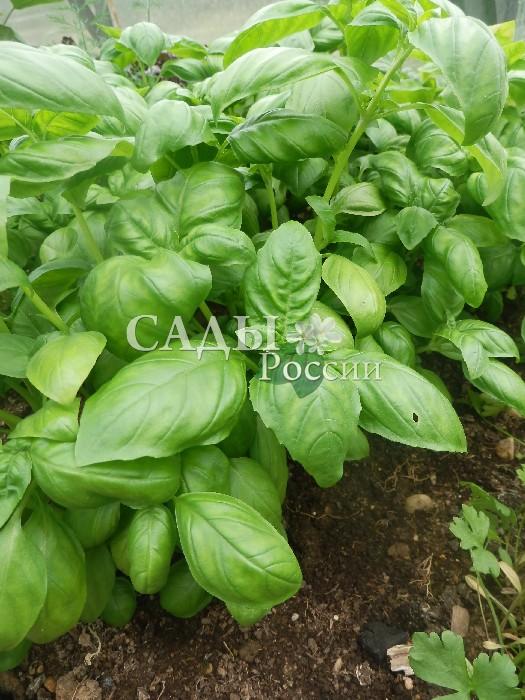 Базилик Зелёный ароматныйПряновкусовые травы<br>Аромат густой, мягкий, листья зелёные. Масса одного растения до 200—250 г, срезку зелени начинают через 50 дней после всходов.<br>