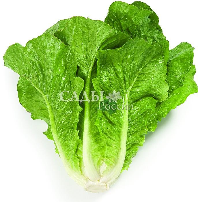 Салат Викторинус F1Пряновкусовые травы<br>Отличный позднеспелый<br>салат типа ромэн, очень привлекательный в розетке<br>красивых нежно-зелёных сильнопузырчатых<br>блестящих листьев.<br>