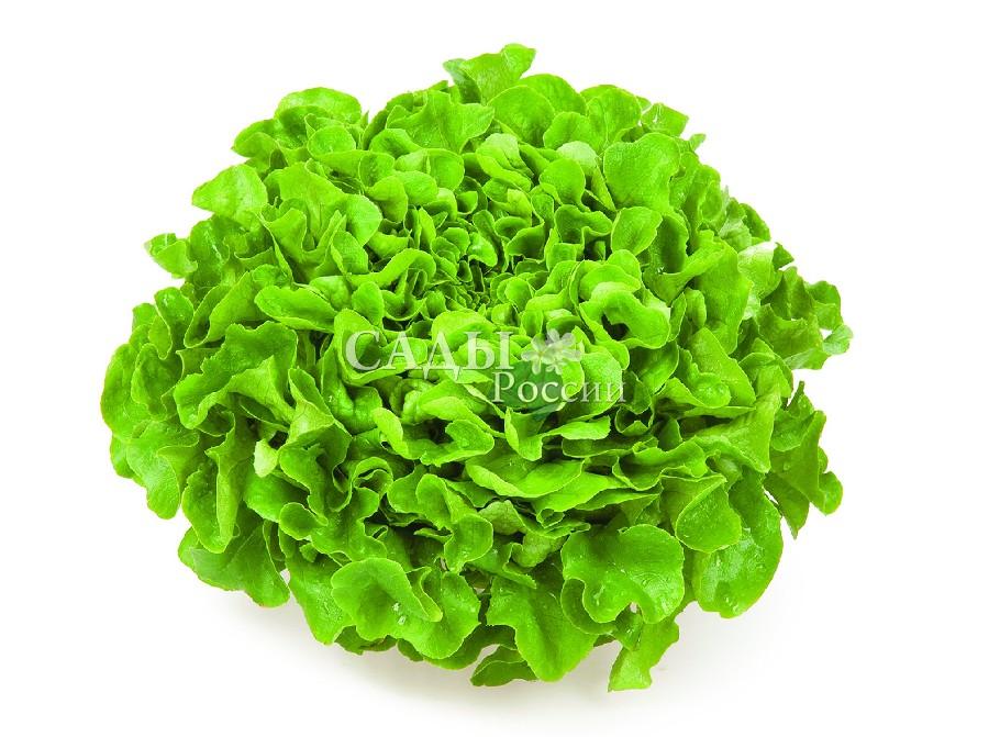 Салат Кук F1Пряновкусовые травы<br>Всегда кстати и никогда не лишний, лёгкий среднеспелый<br>листовой<br>салат с аппетитными<br>тёмно-зелёными, слабопузырчатыми,<br>волнистыми<br>по краю листьями.<br>