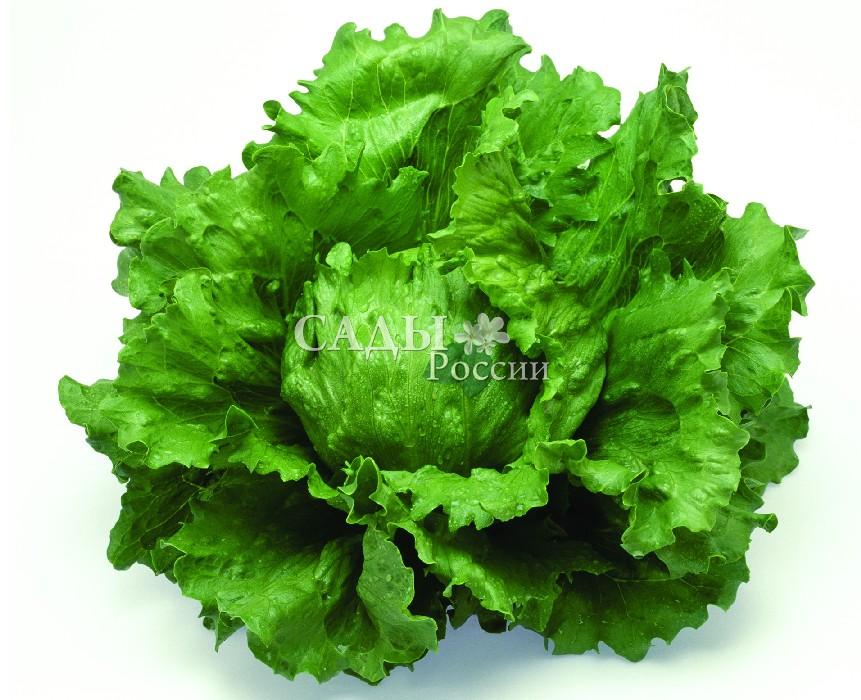 Салат Лагунас F1Пряновкусовые травы<br>Упитанный и самодостаточный среднеспелый кочанный салат сортотипа<br>Айсберг.<br>