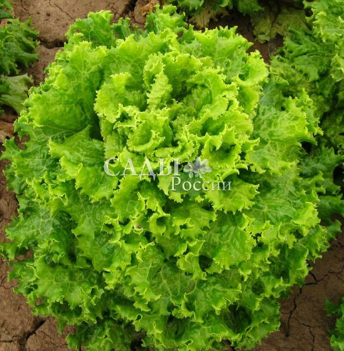 Салат Хьюджин F1Пряновкусовые травы<br>Очень быстрый, «весёленький» листовой<br>салат с плотной компактной<br>открытой розеткой.<br>