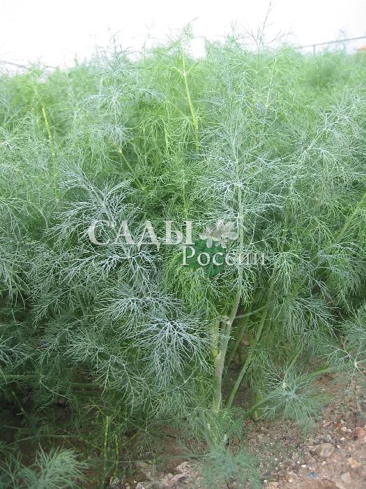Укроп Голдкрон F1Пряновкусовые травы<br>Позднеспелый сорт-изумруд практически весь сезон стоит зелёный,<br>осеменяется во второй половине лета.<br>