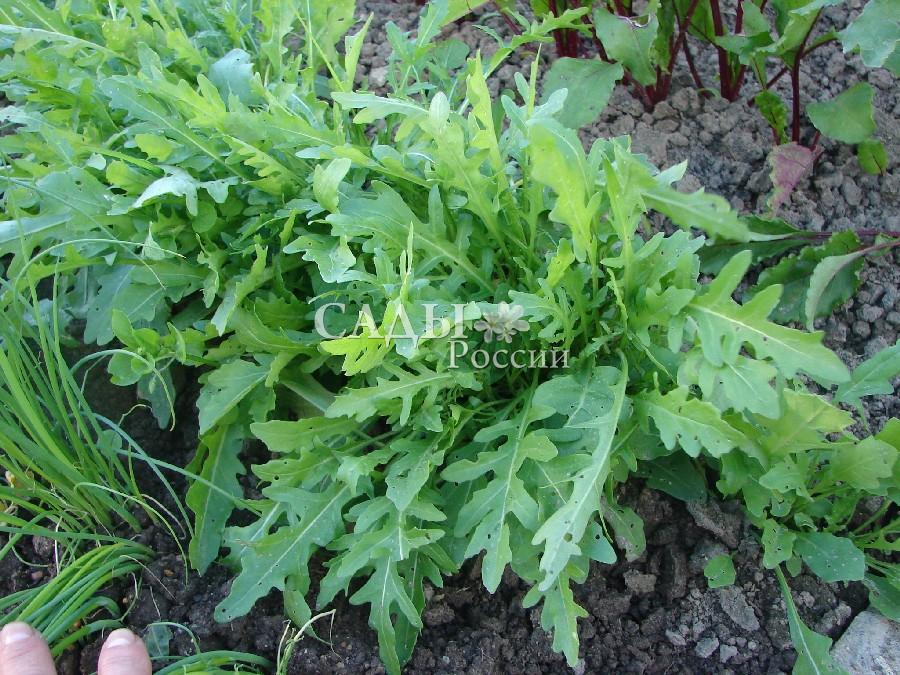 Рукола РокетПряновкусовые травы<br><br>
