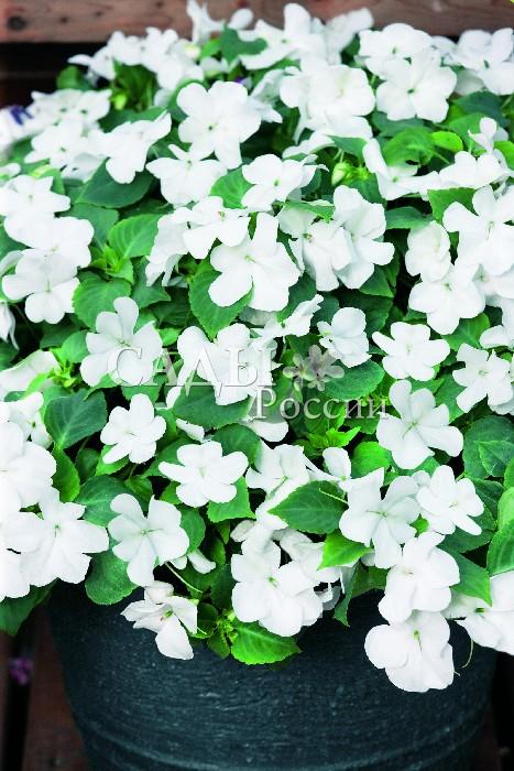 Бальзамин Акробат БелыйОднолетники VIP<br>Настоящая зимняя вьюга ослепительно-белых цветков с атласными лепестками из тончайшего шёлка.<br>