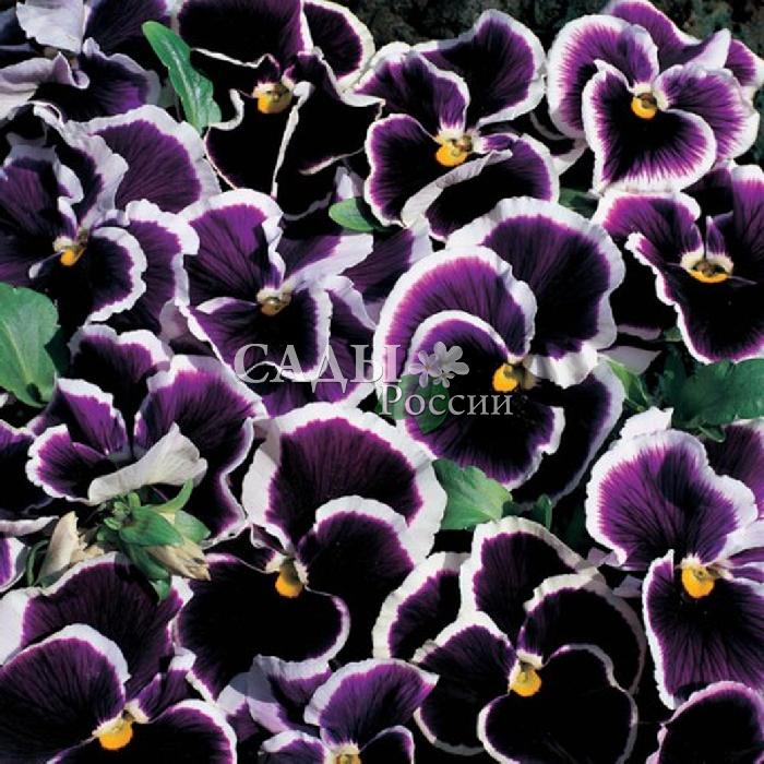 Виола Морская волнаДвулетники VIP<br>Изумительный, глубокий пурпурно-синий бархат лепестков с белоснежной каймой по краю. Высота 15-20 см.<br>