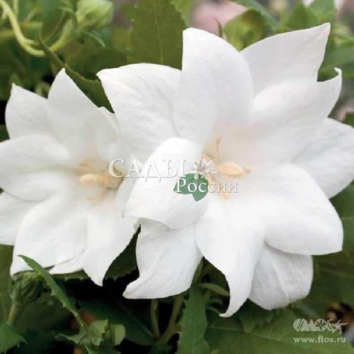 Платикодон Астра Белый крупноцветковыйМноголетники VIP<br>Восхитительный красавец, божественное изваяние.<br>