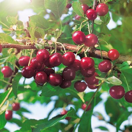Вишня кустарниковая СубботинскаяВишня<br>Сибирская красавица-вишня. Высокоурожайный сорт селекции НИИ садоводства<br>Сибири.<br>