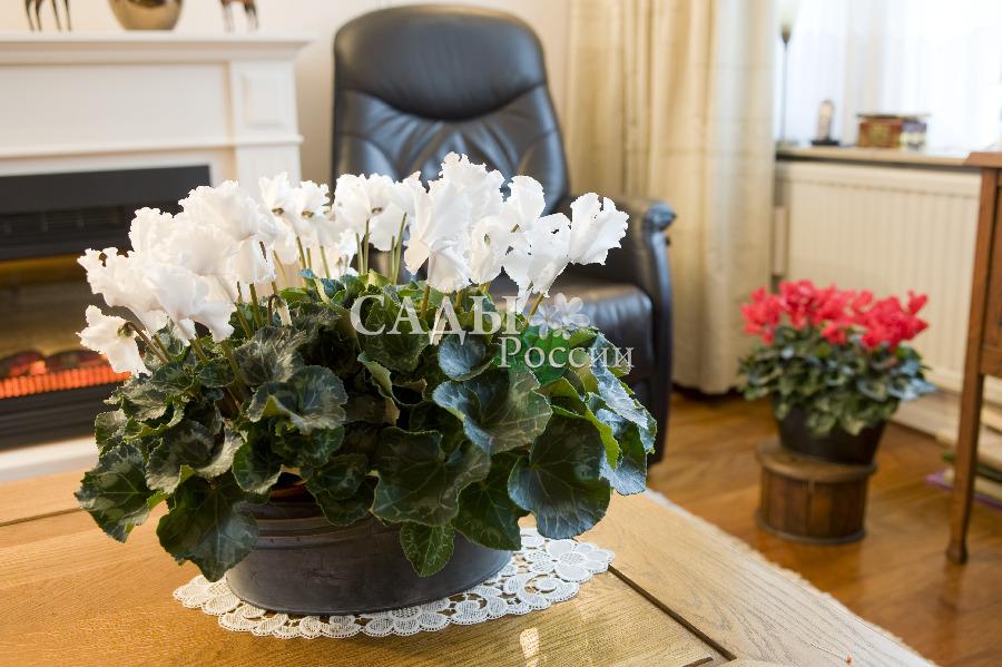 Цикламен Оборки БелыйКомнатные растения VIP<br>Волнующий тонкий шёлк лепестков с нежнейшим оттенком лёгкого розового фламинго способен остановить мгновенье.<br>