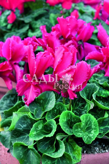 Цикламен Оборки СкарлеттКомнатные растения VIP<br>Земная фея, завораживающая волшебной красотой изумительных красно-коралловых цветков, наполняющих пространство идиллией счастья.<br>
