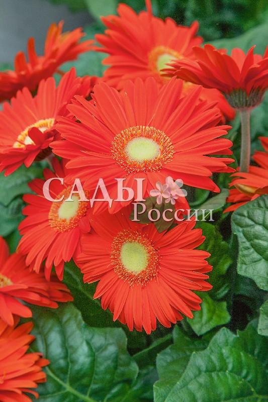 Гербера Мега Революция оранжевая с глазкомКомнатные растения VIP<br>НОВИНКА!  <br> <br>Оранжевая революция в вашем доме. Мощные кустистые растения распускаются очень<br>крупными цветками.<br>