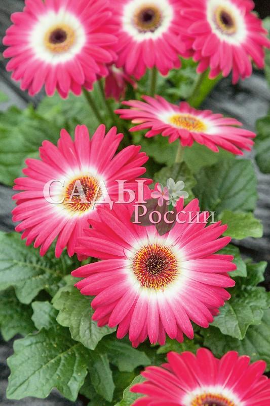 Гербера Революция двуцветная розово-белаяКомнатные растения VIP<br>НОВИНКА!  <br> <br>Миниатюрная красавица ростом всего 30-40 см<br>прекрасно подходит для выращивания в качестве<br>комнатного цветка.<br>