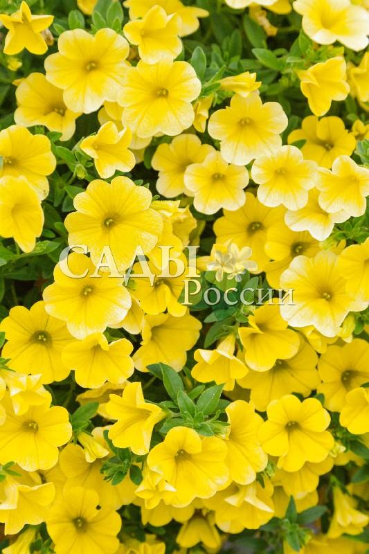 Калибрахоа Каблум жёлтыйОднолетники VIP<br>НОВИНКА!  <br> <br> <br><br>Даже в пасмурную погоду этот цветок<br>на балконе заменит вам солнышко.<br>