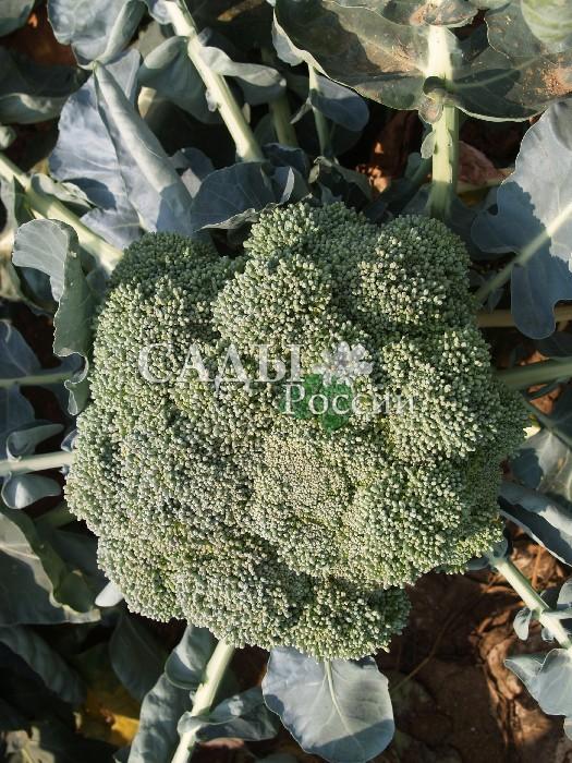 Капуста Лорд F1 брокколиКапуста брокколи поздняя<br>Прекрасный позднеспелый<br>гибрид, органично продлевающий период<br>использования полезной, питательной и некапризной брокколи.<br>