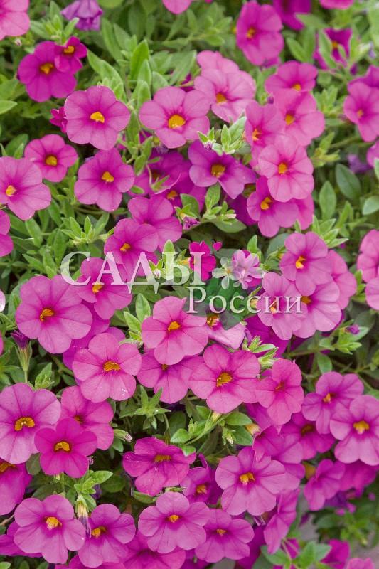 Калибрахоа Каблум насыщенный розовыйОднолетники VIP<br>НОВИНКА!  <br> <br> <br><br>Фестиваль колокольчиков – так можно<br>сказать про этот цветок.<br>