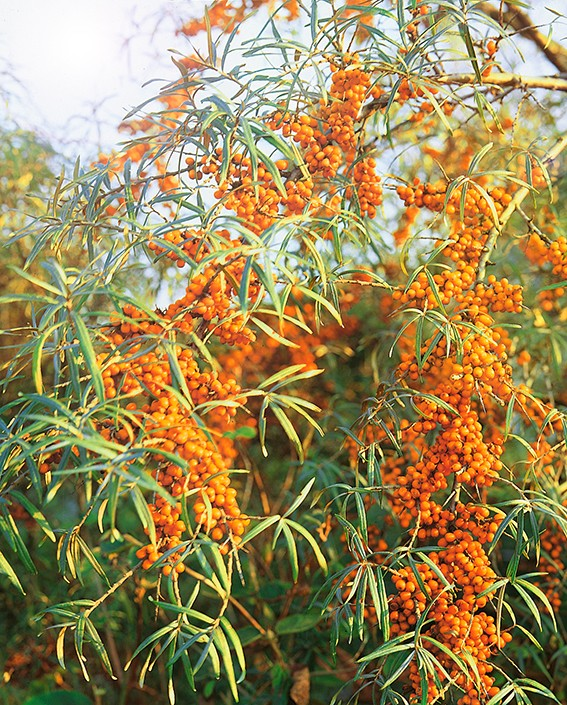 Облепиха НижегородскаяОблепиха<br>Красивый раскидистый<br>куст с яркими жёлто-оранжевыми, как<br>золотисто-карминовые огоньки, плодами.<br>