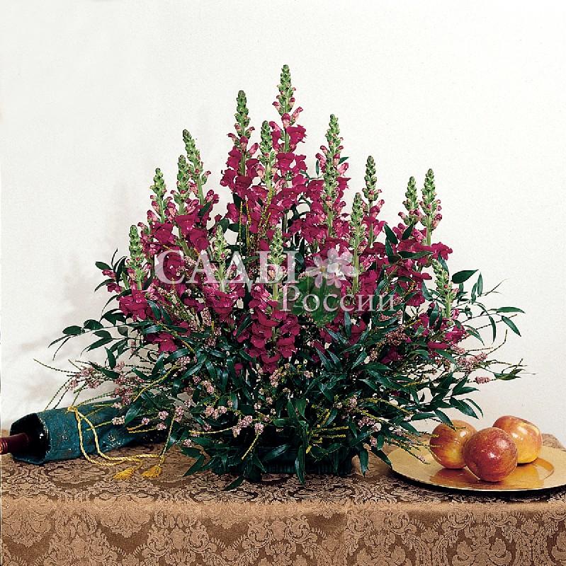 Львиный зев Мэриленд КоролевскийОднолетники VIP<br>НОВИНКА!  <br> <br>Вот уж поистине царь среди цветов! Лепестки благородного пурпурного оттенка напоминают королевскую<br>мантию.<br>
