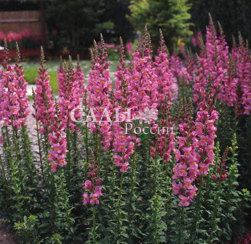 Львиный зев Ракета Розовые оттенкиОднолетники<br>НОВИНКА!  <br> <br>Отличное приобретение в вашей цветочной коллекции.<br>