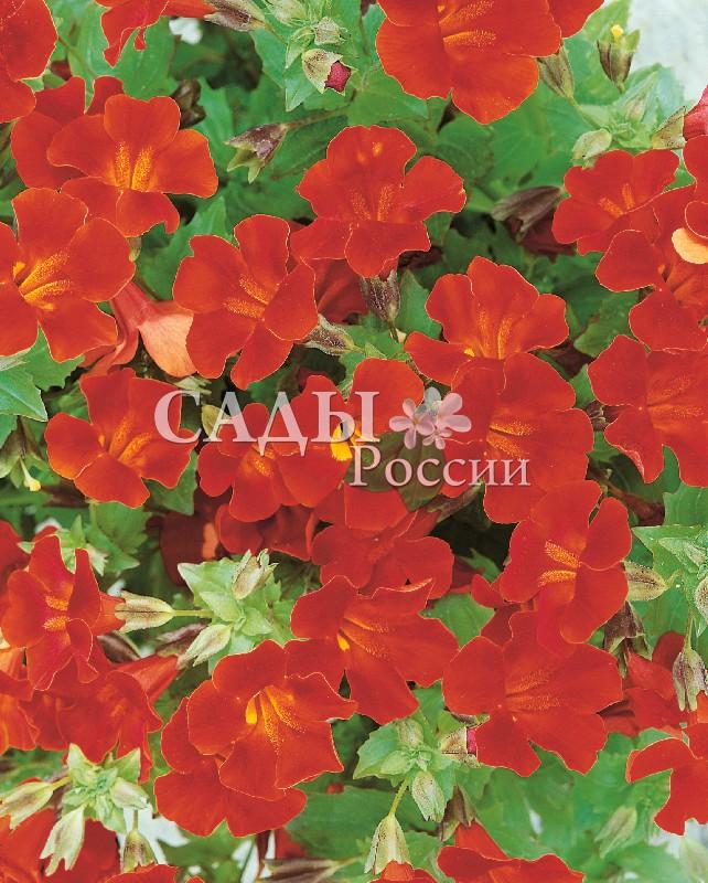 Мимулюс Мэджик красныйОднолетники<br>НОВИНКА!  <br> <br>Потрясающая магия красных оттенков от нежных и тёплых коралловых до огненно-пламенных и<br>вишнёвых.<br>