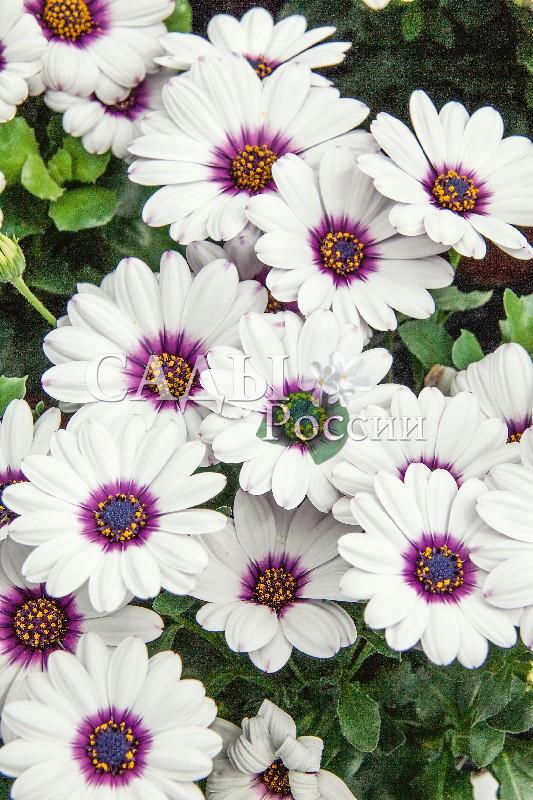 Остеоспермум Акила белый с глазкомОднолетники VIP<br>НОВИНКА!  <br> <br>Пурпурный глазок в центре белых лепестков делает этот цветок<br>очень нарядным.<br>