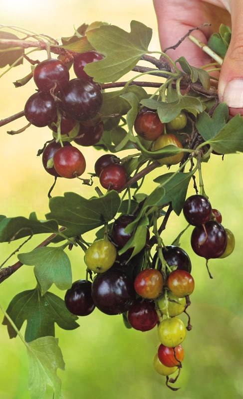 Смородина ШафакСмородина золотистая<br>Один из первых сортов, созданных Башкирским НИИ сельского хозяйства (1999 г.).<br>