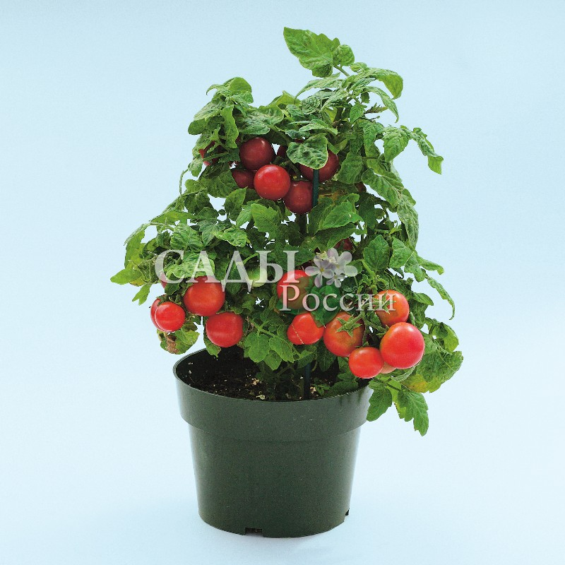 Помидоры Вишнёвый поцелуй F1Домашний огород<br>НОВИНКА!  <br><br> <br>Нарядные кусты просто увешаны гирляндами красивых плодов. Помидоры<br>скороспелые, созревают за 48 дней.<br>