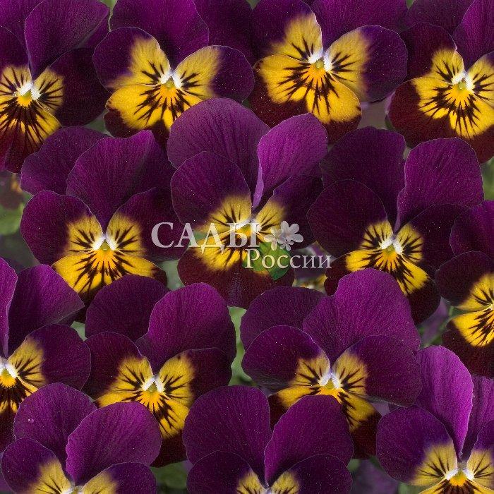 Виола Цветочная сила фиолетовая