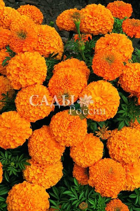 Бархатцы Оранжевый король африканскиеОднолетники<br>Властелин лета. Очень позитивный, искрящийся добротой и безмятежной радостью бытия.<br>