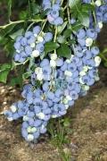 Голубика Синий Сбор