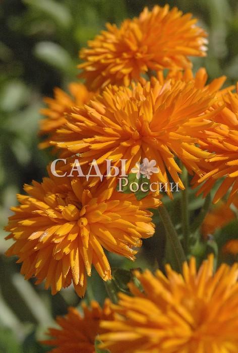 Календула Оранжевый ДикобразОднолетники<br>Неповторимый яркий оригинал с взъерошенными крупными махровыми соцветиями.<br>