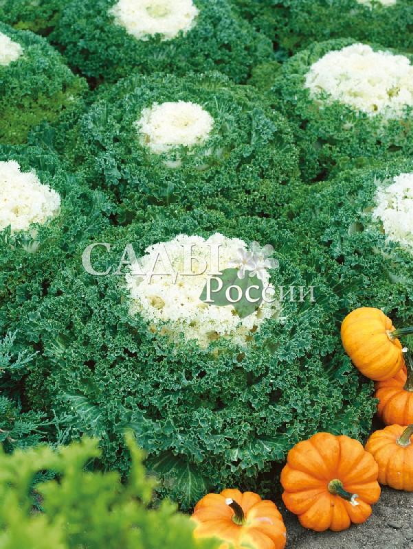 Капуста Камом Белая декоративнаяОднолетники<br>Пышная, очаровательная, с белоснежным, как взбитые сливки, центром в зелёной пене сильногофрированных пузырчатых листьев.<br>