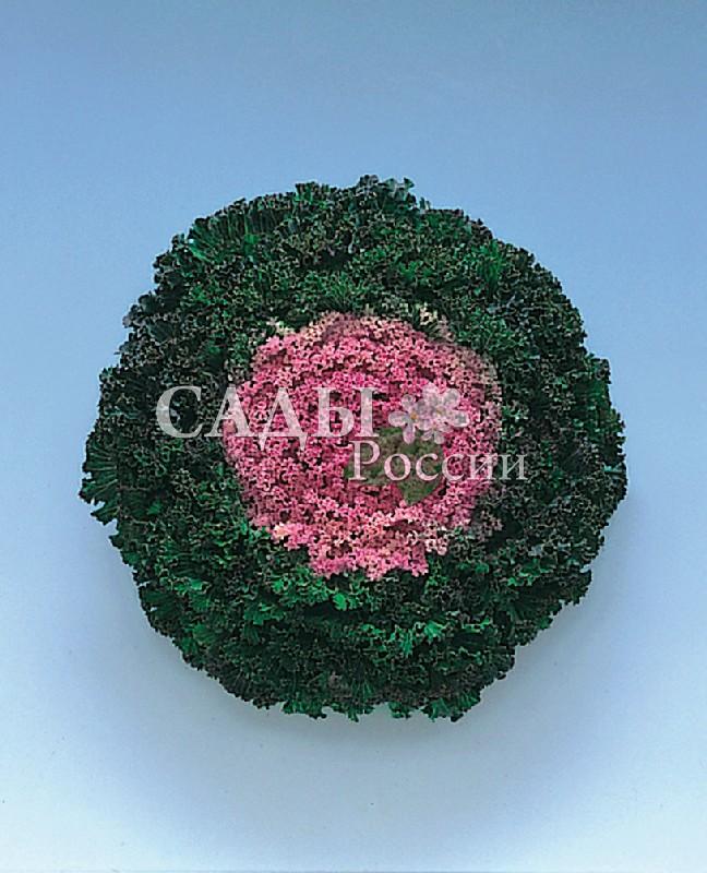 Капуста Камом Розовая декоративнаяОднолетники<br>Эффектная и очень привлекательная с подрумяненным аметистовым центром из множества ажурных розочек, причудливо собранных внутри тёмно-зелёного кольца из волнистой гофрированной оборки листьев.<br>