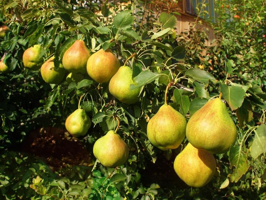 Груша ПермячкаГруша Летние сорта<br>В конце<br>августа Вы отведаете крупные весом 140–160 г, сочные,<br>сладкие плоды чистой светло-жёлтой окраски.<br>