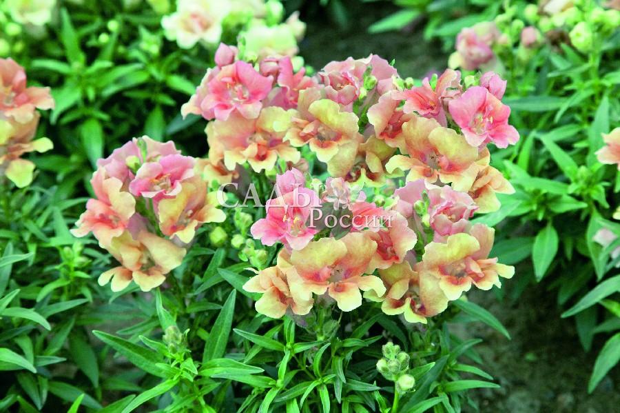 Львиный зев Близнецы персиковыйОднолетники<br>Тёплый, безмятежный, наполняющий пространство солнечными золотисто-розовыми тонами радуги. Цветки крупные махровые в плотных соцветиях.<br>