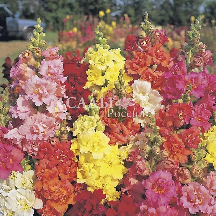 Львиный зев Мадам Баттерфляй наборОднолетники<br>Чудесная серия БАТТЕРФЛЯЙ с крупными многоцветковыми соцветиями в полном комплекте потрясающе ярких, насыщенных красок жаркого лета.<br>