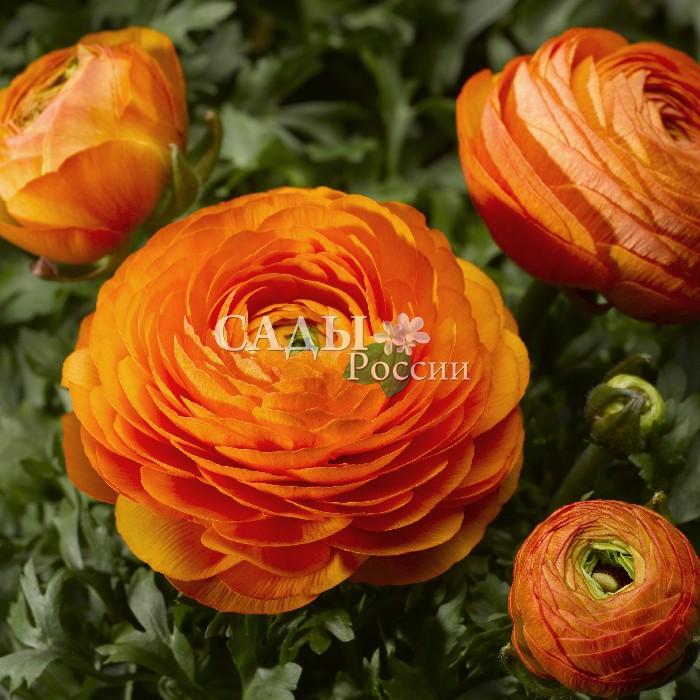 Лютик Маше ОранжевыйОднолетники<br>Трубадур, солнечный, весёлый и бесстрашный.<br>