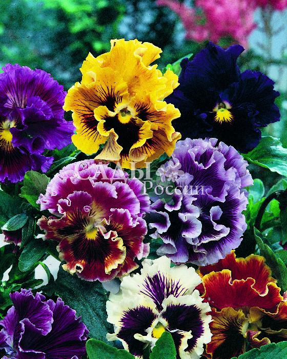Виола Германия цветной наборДвулетники<br>Кордебалет - звонкий, весёлый, нарядный. Настоящее шоу великолепных колеров, форм и оттенков.<br>