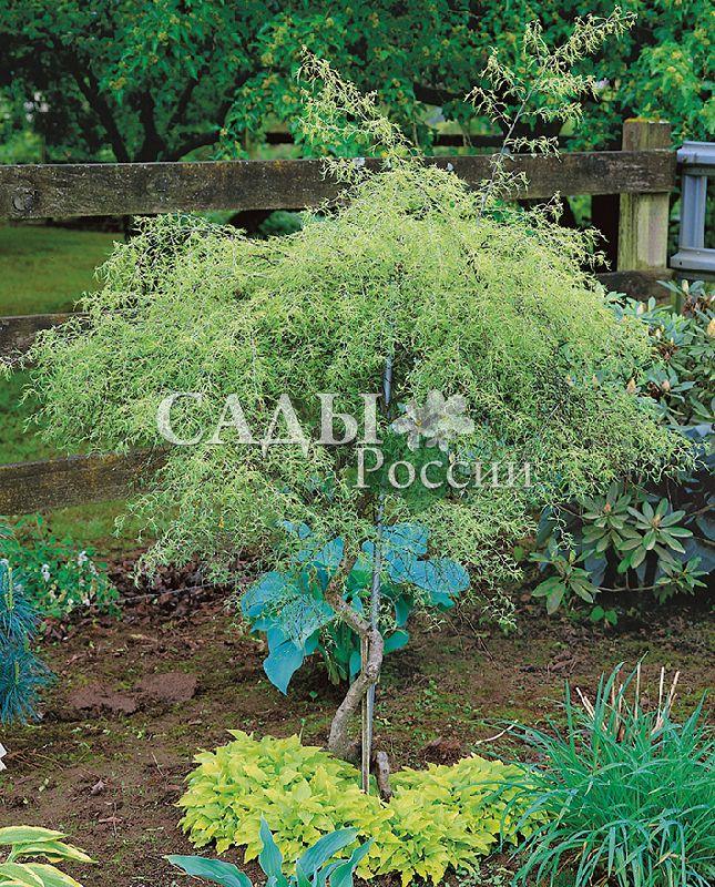 Берёза КарликоваяДекоративные деревья, кустарники, лианы<br>Миловидная, изящная белоствольная берёзка так же скромна и обаятельна, как её взрослые<br>подруги.<br>