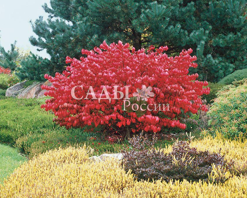 Бересклеты КрылатыйДекоративные деревья, кустарники, лианы<br>Сказочный кустарник-золушка.<br>