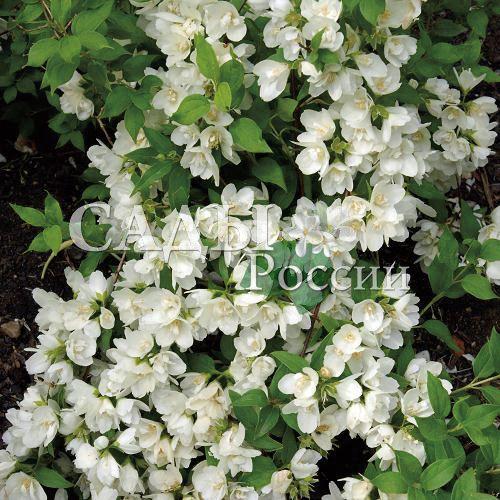 Жасмин Манто д ЭрминДекоративные деревья, кустарники, лианы<br>Отличается дивным,<br>совершенно неповторимым ароматом многочисленных полумахровых цветков 2,5—3 см в диаметре и не знает себе равных<br>по продолжительности цветения.<br>