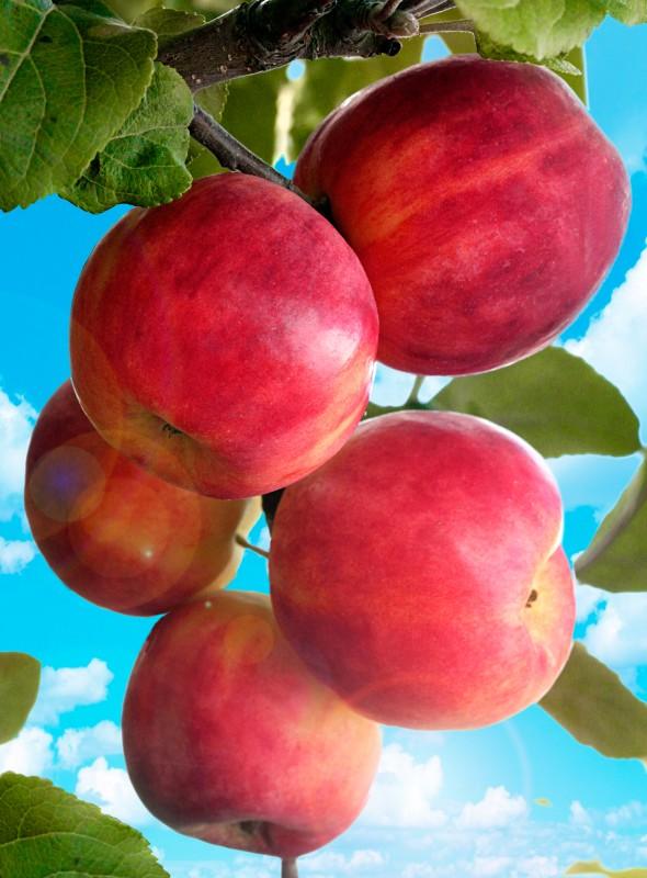 Яблоня ГорнистЯблоня Летние сорта<br>Новый сорт яблони,<br>выведенный екатеринбургским селекционером Л. А. Котовым.<br>