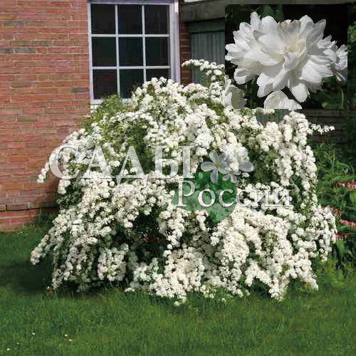 Жасмин Снежный человекДекоративные деревья, кустарники, лианы<br>Головокружительное множество белоснежных крупных, до 5 см в диаметре, цветков подобно снежному вихрю, опустившемуся с небес в конце июня — начале июля.<br>